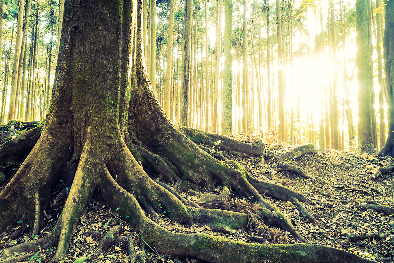 Jungle forest with Tree root and sun flare - vintage filter